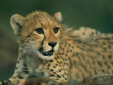 A Close View of a Juvenile African Cheetah
