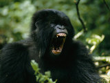 Mountain Gorilla with its Mouth Agape