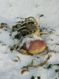 Squash Plant in the Snow