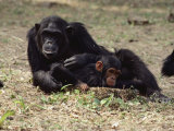Two of the Many Chimpanzees at Gombe Stream National Park in Tanzania