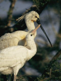 A Mating Pair of Eurasian Spoonbills Keep Close Company Together