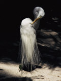 A Majestic Great Egret Cranes its Neck to Pluck at its Feathers
