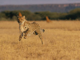 An African Cheetah Appears to Be Leaping in the Air in Mid-Sprint