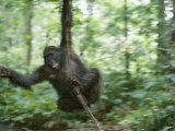 Juvenile Gorilla Swinging on a Vine