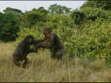Male Gorillas Spar for Group Dominance