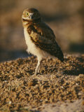 Burrowing Owl at a Prairie Dog Reintroduction Site