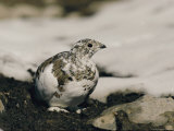 Close View of a Ptarmigan Displaying its Winter Plumage