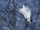 A Ptarmigan Flies in for a Landing