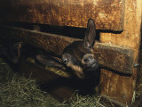 A Goat with its Head Protruding Through Fence Slats in a Barn