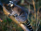 Captive Ring-Tailed Lemur with Young
