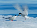 An Arctic Tern Greets a Mate with Food