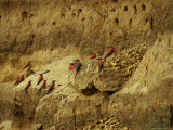 Carmine Bee-Eater Birds in Their Rookery Carved in a Cliff
