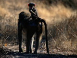 Baboon Carrying its Young