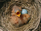 Robin Nest with Newborn Chicks and Egg