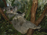 A Koala Clings to a Eucalyptus Tree in Eastern Australia