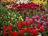 Brilliant Array of Various Tulips in a Garden