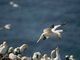 A Northern Gannet Seems to Hover in Mid-Air Above a Rookery