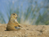A Prairie Dog Sits Outside its Burrow Entrance