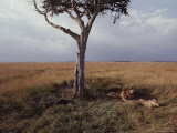 A Pair of Lions Rest under a Tree on a Kenyan Savanna
