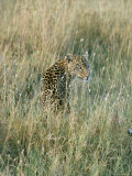 A Leopard Hides in the Tall Grass