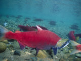 Red Salmon Swimming