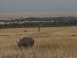 A White Rhinoceros and a Reticulated Giraffe Share a Kenyan Savanna