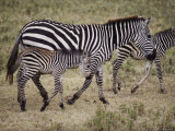 An Adult and Two Juvenile Plains Zebras Walk Along a Worn Path