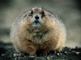 Close View of a Fat Prairie Dog