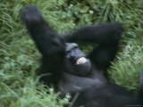 A Western Lowland Gorilla Plays in the Grass