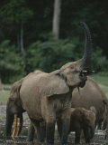 A Forest Elephant Sniffs the Air While Others Probe the Mud for Salt