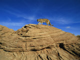 A Mountain Lion Walks Across a Desert Landscape