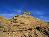 A Mountain Lion Walks Across a Desert Landscape