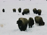 Group of Bison in the Snow