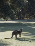 An Eastern Grey Kangaroo Temporarily Disrupts a Golf Game