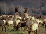 Elk Cows Spar in the Midst of a Wintering Herd