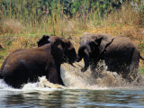 Sparring Elephants