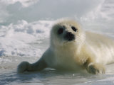A Juvenile Harp Seal Lying on the Ice