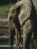 An Adult Forest Elephant Probes for Salt in the Mud with its Trunk