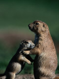 Black-Tailed Prairie Dogs (Cynomys Ludovicianus)