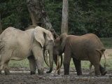 Two Forest Elephants Touch Heads Affectionately