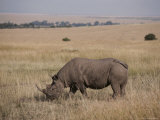 A White Rhinoceros Grazes on a Kenyan Savanna