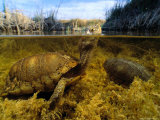 Coahuilan Box Turtles