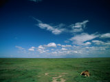 Lion Resting on the Vast Savanna