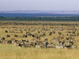 Hundreds of Plains Zebras and Wildebeests Graze on the Savanna