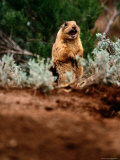A Utah Prairie Dog Vocalizing in Bryce Canyon National Park  Utah