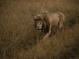 A Male Lion Walks Through Golden Grass on a Savanna