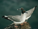 A Pair of Swallow-Tailed Gulls Perch on a Rock