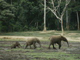 Two Juvenile Forest Elephants Follow Their Mother in Single File