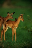 A Female Impala and Her Youngster with an Oxpecker Bird on its Back