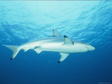 View of a Blue Shark